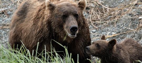 Una banca del seme per salvare ilre degli Appennini, l'orso marsicano